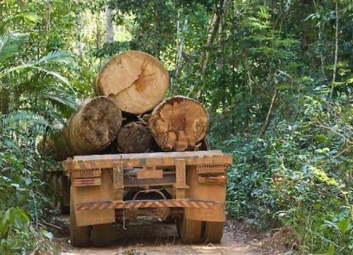 Troncos cortados en Darién. La tala ilegal continúa. (Foto SerTV).