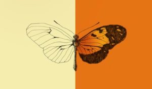 Los genes convierten el lienzo de las alas de las mariposas Heliconius en cientos de variaciones de colores y patrones. (Ilustración por Paulette Guardia).